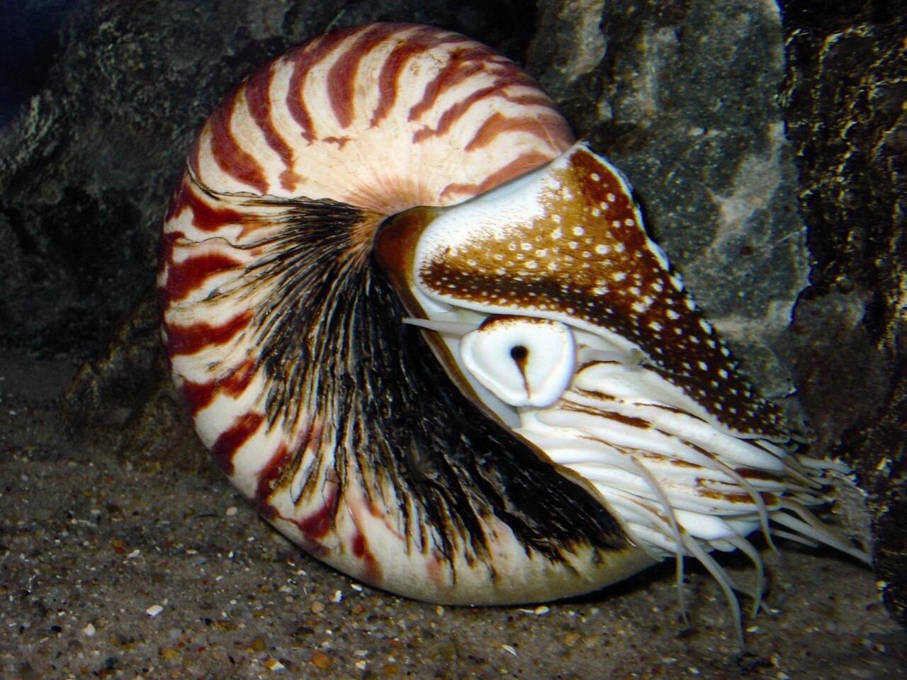 Nautilusa