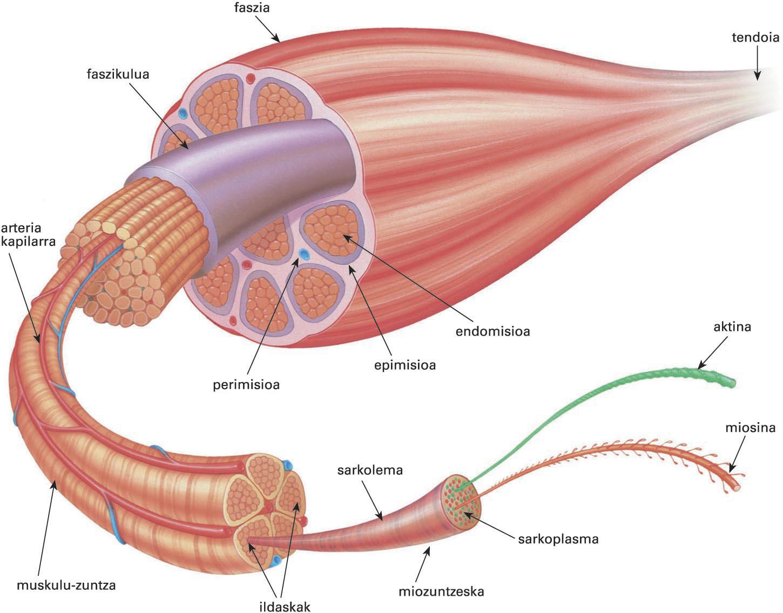 Muskulu ildaskatua