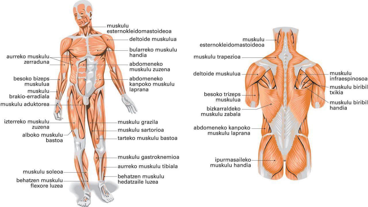Gorputzeko muskuluak: a) aurrealdea; b) atzealdea