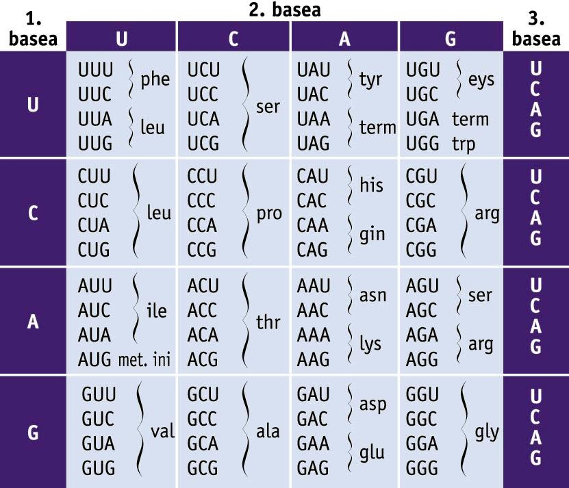 Kode genetikoa. 64 kodoiak eta kodetzen dituzten aminoazidoen taula