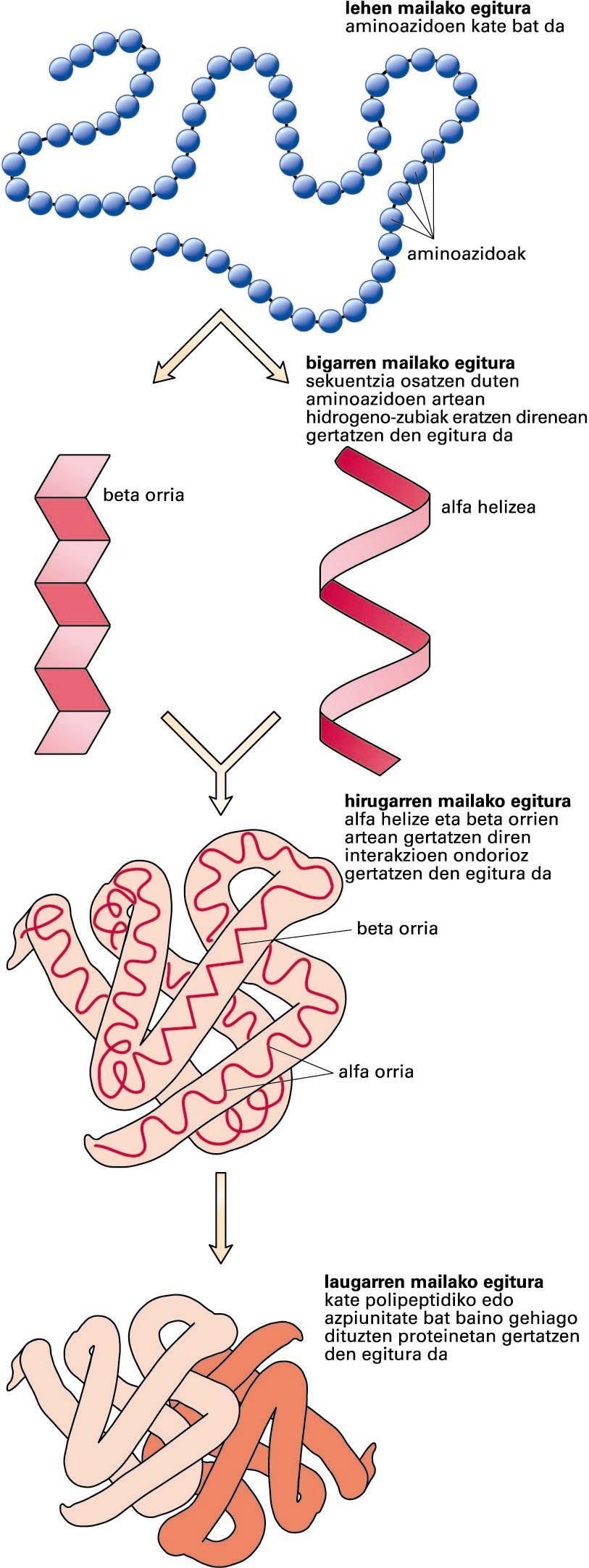 Proteinen egituraren lau mailak
