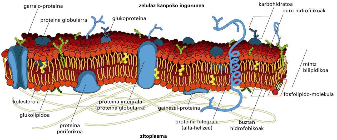 Mintzeko proteinak