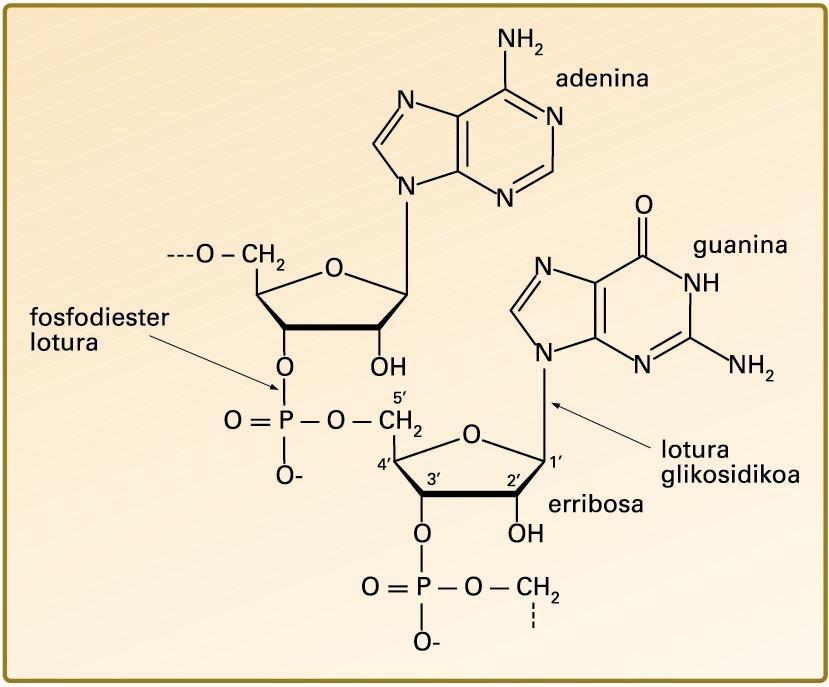 RNAren oinarrizko egitura