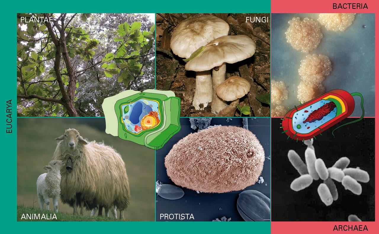 """Bizidunen dibertsitatea begi-bistakoa da, eta hiru eremutan (Eukarya, Bacteria eta Archaea) sailkatu dira. Eukaryako kideak zelula eukariotikoz osatuta daude (berdez), eta zelulabakarrak (irudiko <span style=""""font-style:italic"""">Isotricha intestinalis</span> moduko protistak) edo zelulaniztunak (haritzen moduko landareak, perretxikoen moduko onddoak eta ardien moduko animaliak) izan daitezke. Bakterioak (adib., irudiko <span style=""""font-style:italic"""">Mycobacterium tuberculosis</span>en koloniak) eta arkeoak (adib., irudiko Euryarchaeota), beren aldetik, zelula prokariotikoz osatuta daude (gorriz), eta Lurrean ugarienak eta dibertsitate handienekoak izan arren oraindik oso gutxi ezagutzen ditugu. Edonola ere, izaki horiek guztiek, txikiek zein handiek, sinpleek zein konplexuek, zelula dute oinarrizko unitate erkide. Halaber, izaera bereko material genetikoa dute, kode unibertsala daramaten geneak dituzte, eta garapen- zein eboluzio-mekanismo baliokideak. Izan ere, denak arbaso unibertsal bakar batetik datoz, egun azaleko itxuraz behintzat aski ezberdinak diren arren"""