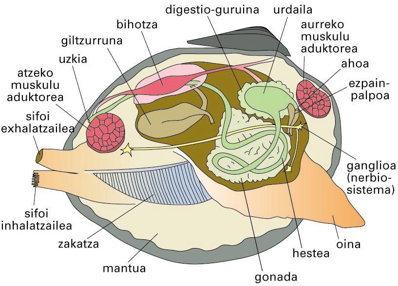Bibalbio baten anatomia orokorra