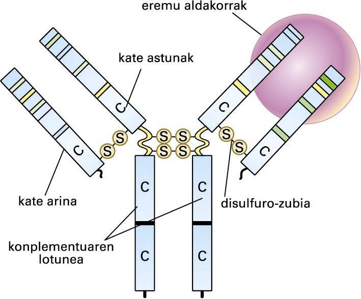 Antigorputz-molekularen egitura